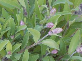 Mediterranian Soil Verbene Tee 25g